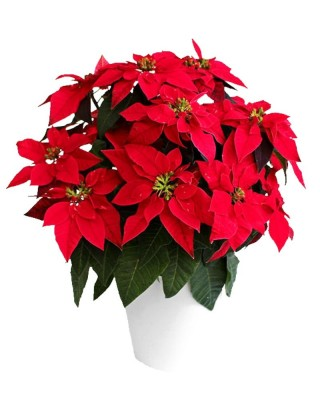 Christmas Poinsettia Plant