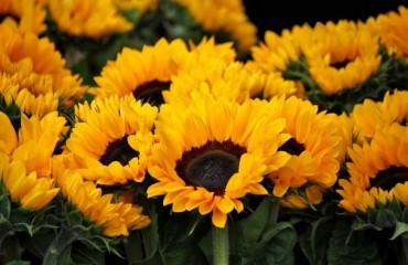 Girasoles – La flor del sol