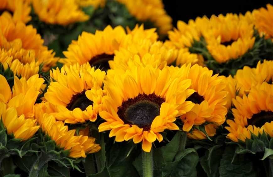 Sunflowers – The flower of the sun
